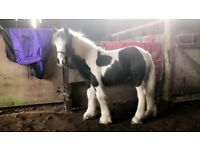Cob Filly For Sale