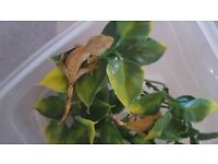 2 7 week baby crested geckos for sale!