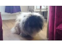 pekingese young pup bitch for sale 14 months old
