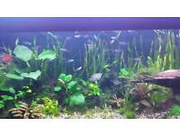 20 Adult neon tetra + free guppies (if wanted)