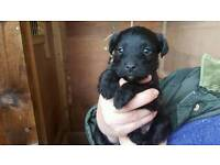Patterdale x jack Russell pups