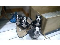 Old english bulldog tri puppies for sale