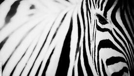 Picture - Zebra