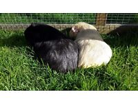 Pair of 11 month old female guinea pigs