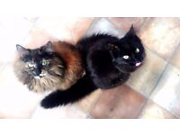 2 Gorgeous Cats for Sale!