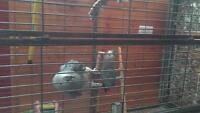 2 african grey breeding males