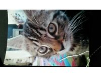 Tabby tomcat 1yr old, named Marble been missing for 1 wk.