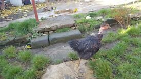 4 chicken for sale