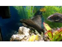 Large sailfin plec and 2 large catfish all around 10 inch