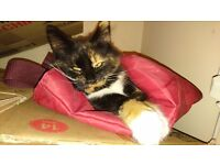 CAT/KITTEN FOR SALE**7-8 MONTHS OLD*BEAUTIFUL FEMALE*CHIPPED , VACCINATED,DEWORMED,DEFLEAD* £100**