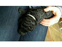 Gorgeous f1b labradoodle puppies for sale all black