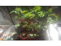 Vegetable Plants & Terracotta Pots - Toms, Cu's, Pointed Peppers, Strawberrys & Succulents