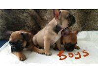 Kc reg hc clear french bulldog puppies