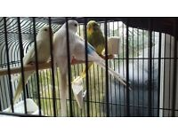 Budgies and zebra finches for sale