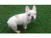 ikc french bulldog pups
