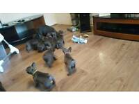 Blue french bulldogs **ready to leave now**