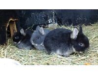 Young Dwarf Rabbits