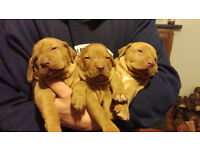 Hungarian vizslas puppies for sale