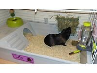 Guinea Pig, Indoor Cage, Accessories and Small Outdoor Run