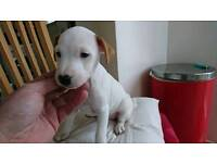 Stunning Parsons Jack Russell Pups
