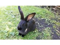 PURE CONTINENTAL GIANTS BABY RABBITS FOR SALE £50 EACH