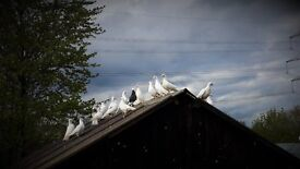 White Pigeons For Sale £6 a Pair