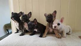 French bulldog puppies for sale, ready now STUNNING