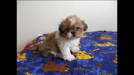***Shih tzu Pups for sale***