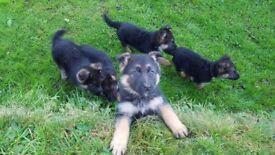Female german shepherd pups