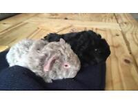 2 baby guinea pigs
