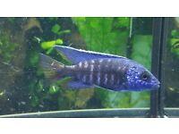 BLUE MALAWI CICHLID 8CM VERY COLOURFUL £7.00