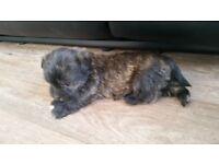Westie lhasa puppies 2 left