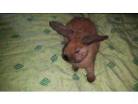 Lopped eared