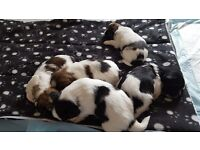 Lhasa apso puppies ready for rehoming in 5 weeks