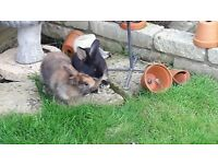 2 girls and 1 boy Baby rabbits for Sale £20 / Each