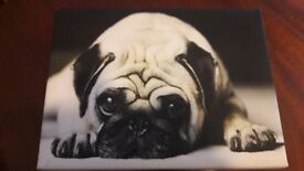 Pug Black & White Canvas.