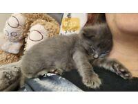 Blue Ragdoll Kittens for Sale Crawley