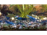 Blue Velvet Shrimps For Sale