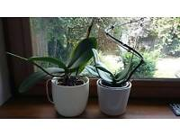 Two Orchids with Pots