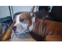 Pup/dog male 1yr 4m requires good walks needs attention and willing to learn