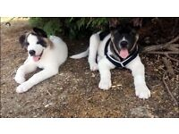 American Akita puppy 11 weeks