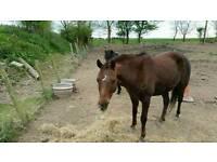 Welsh x riding pony