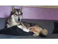 Siberian husky needs a loving home