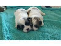 Malshi pups