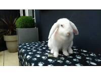 White lop bunnie