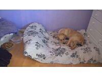 Poodle x golden retriever