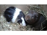 2 male guinea pigs and indoor cage if needed