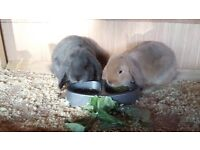 three lovely french lop bunnies
