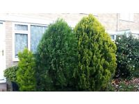 Free conifer trees