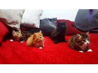 2 Half Norwegian Forest kittens for sale